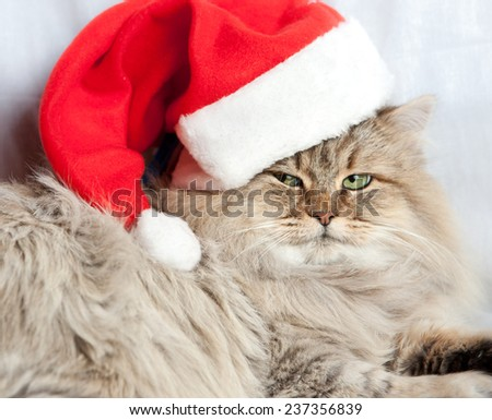 Closeup adult and serious Christmas cat in red Santa Claus cap - stock photo