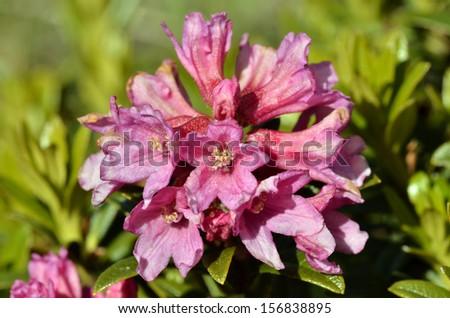 Closeup Alpenrose flower (Rhododendron ferrugineum) near from Col du Petit-Saint-Bernard (Little St Bernard Pass) in France. - stock photo