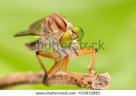 closeup Asilidae, Robber fly waiting for prey on branch - stock photo