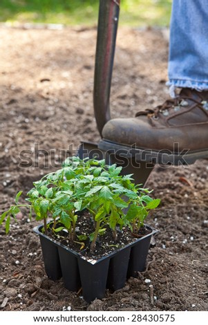 Closeup at ground level of work boot on shovel digging in the garden. Tomato plant in the foreground, selective focus, plenty of copy space.