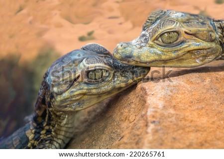 closeup baby alligator  - stock photo
