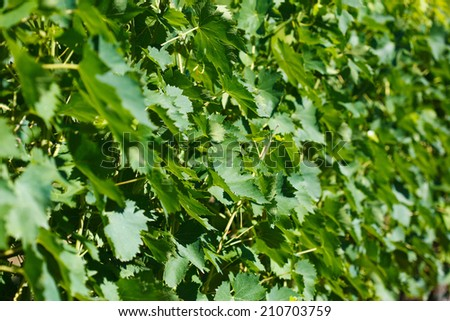 closeup background of grapes in Tuscany, Italy - stock photo