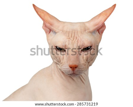 Closeup Bald cat. Cat of breed Sphynx. Naked cat Isolated on White - stock photo
