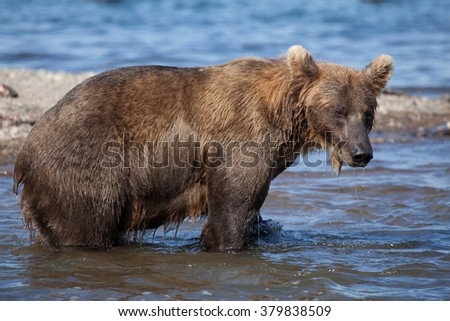 closeup bear with fish