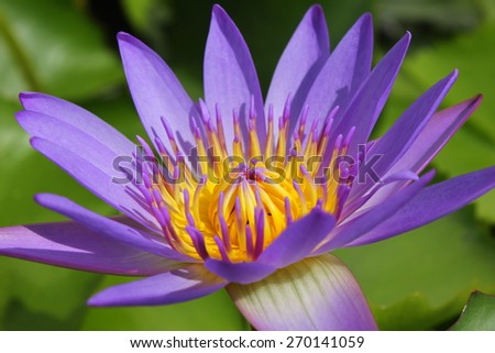 closeup beautiful purple water lily pollen in the garden - stock photo