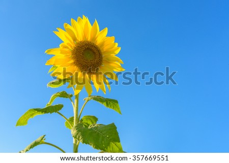 Closeup beautiful sunflower in the field with bright blue sky