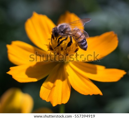 Closeup Bee on pollen of Beautiful Cosmos flowers blooming