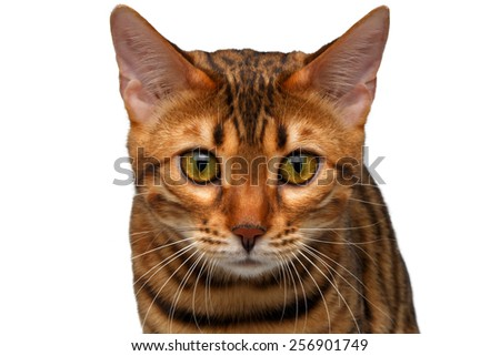 closeup bengal cat looking in camera on white - stock photo