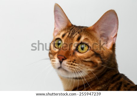 closeup bengal cat looking up on white background - stock photo