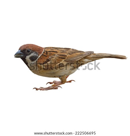 Closeup bird, Eurasian Tree-Sparrow  isolated on white background (Passer montanus) - stock photo