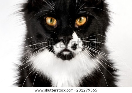 closeup black and white Maine Coon cat - stock photo