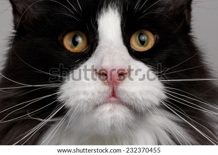 Closeup black and white Maine Coon cat with pink nose - stock photo