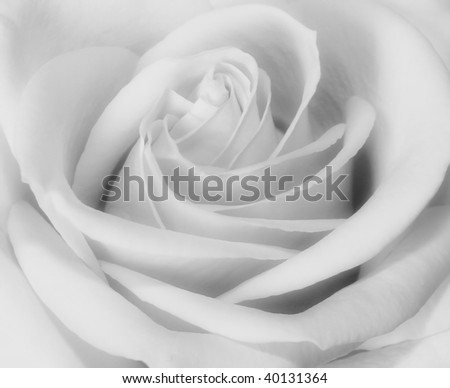 Closeup black and white of rose bud blooming - stock photo