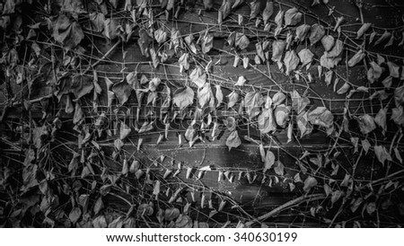 Closeup black and white texture of fence overgrown with ivy - stock photo