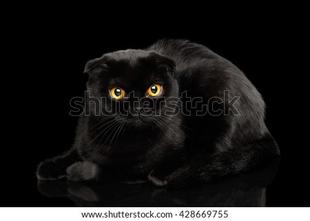 Closeup Black Scottish Fold Cat with Yellow eyes Lying on Mirror Isolated on Black Background - stock photo