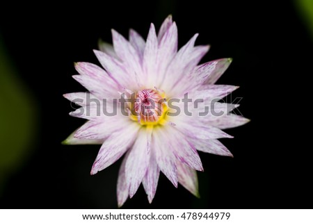 Closeup blooming fancy pink waterlily