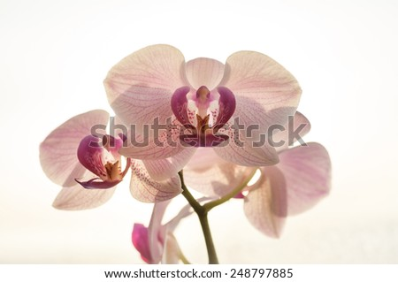Closeup blooming pink orchids flowers. Phalaenopsis - stock photo