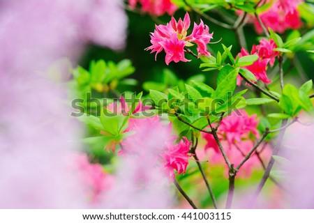 Closeup blooming rose bay bushes - stock photo