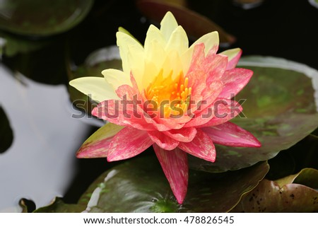 Closeup blooming two tone ( red-yellow ) waterlilies