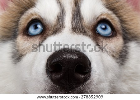 Closeup Blue Eyes with Nose Siberian Husky Puppy  - stock photo