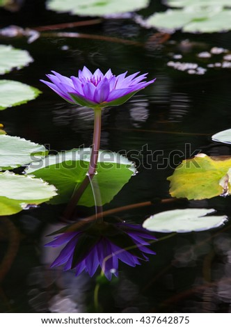 Closeup Blue lotus blossoms or water lily flowers blooming on pond - stock photo