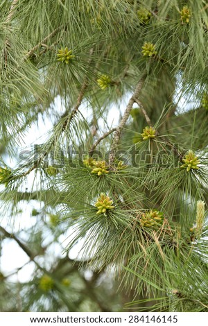 Closeup branches of fir tree in park