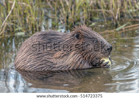 closeup brown beaver sitting in the water close to the shore with green bushes