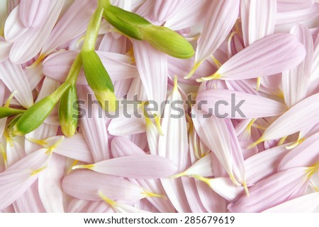 Closeup buds of freesia on background from petals of gerbera - stock photo