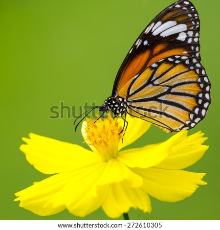 Closeup butterfly on flower (Common tiger butterfly) - stock photo