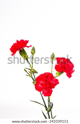 closeup carnation flower on white background - stock photo