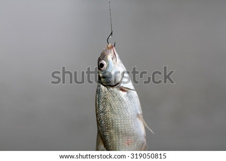 Closeup catch of one river or lake little fish hanging on sharp fish-hook on lip with maggot sunny day outdoor on water natural background, horizontal picture - stock photo