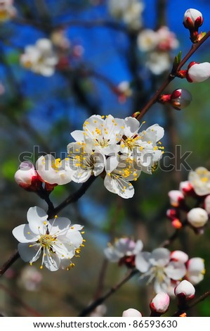 closeup cherry blossom - stock photo