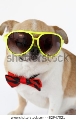 Closeup Chihuahua dog wearing eyeglasses with bow tie on isolated, white background