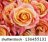 Closeup colorful roses (pink, yellow, orange). Floral background (water drops). - stock photo