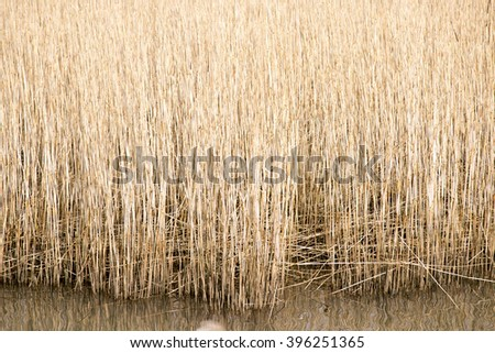 Closeup common reeds in autumn colors close to water in Denmark. - stock photo