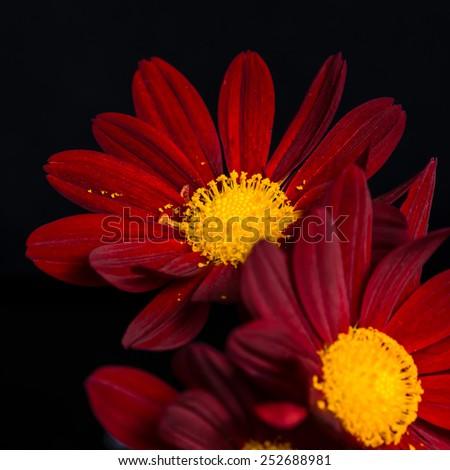 closeup composition of red velvet chrysanthemum flowers on black background, macro  - stock photo