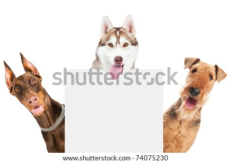 closeup curious heads of Airedale Terrier, Doberman pinscher and husky dogs isolated on white - stock photo
