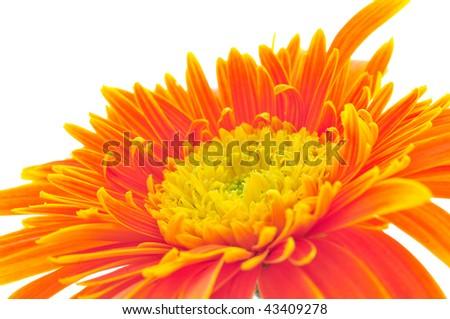 closeup daisy - stock photo