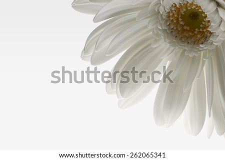 Closeup daisy with white petals on white gradient background. - stock photo