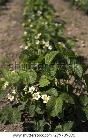Closeup Danish blooming strawberry field - stock photo