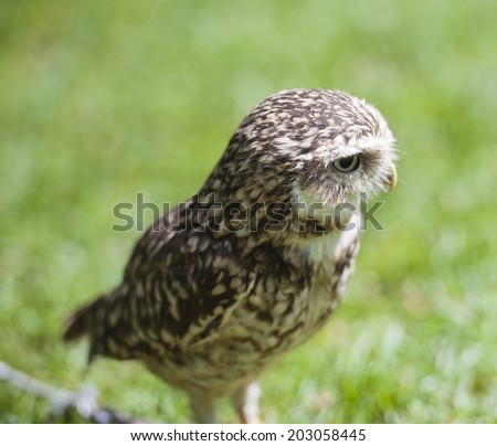 Closeup detail of burrowing owl athene cunicularia in captivity on green grass background - stock photo