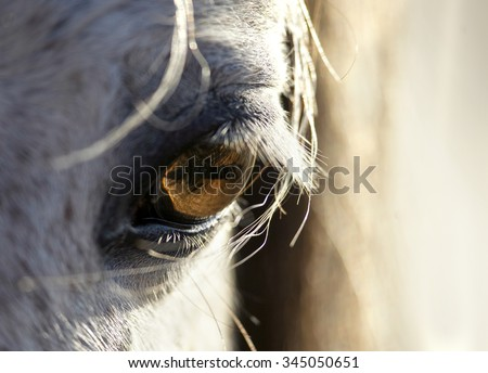 closeup detail of grey horse eye with sunlight - stock photo