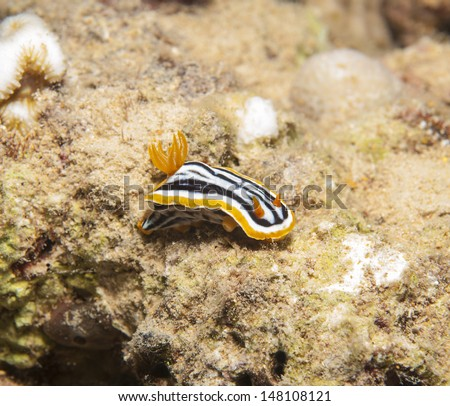 Closeup detail of pyjama chromodorid nudibranch on tropical coral - stock photo
