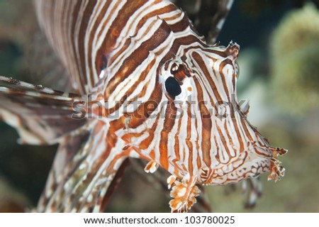 Closeup details of a red sea lionfish on tropical coral reef