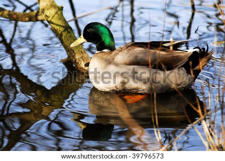 Closeup Drake mallard (Anas platyrhynchos) sitting on water among branch trees with reflection - stock photo