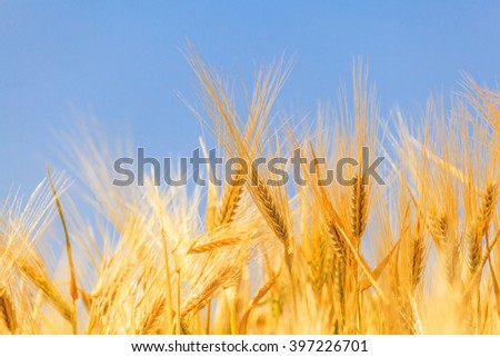 closeup ears of wheat against the sky
