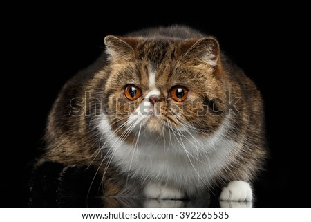 Closeup Exotic Cat on mirror and Looking in Camera, Isolated Black background - stock photo