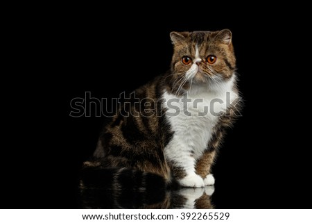 Closeup Exotic Cat Sits on mirror and Alertness Looking in Camera, Isolated Black background - stock photo