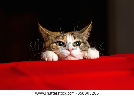 Closeup expressive cat with big eyes and his ears crouched before throwing - stock photo