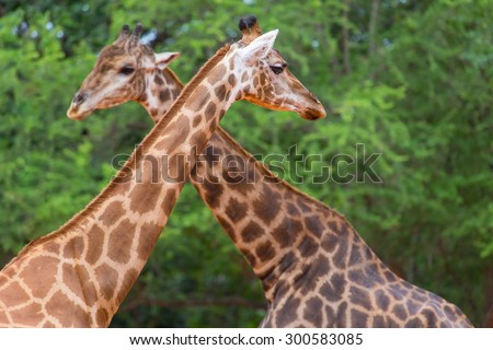 Closeup face giraffe in the wild. - stock photo